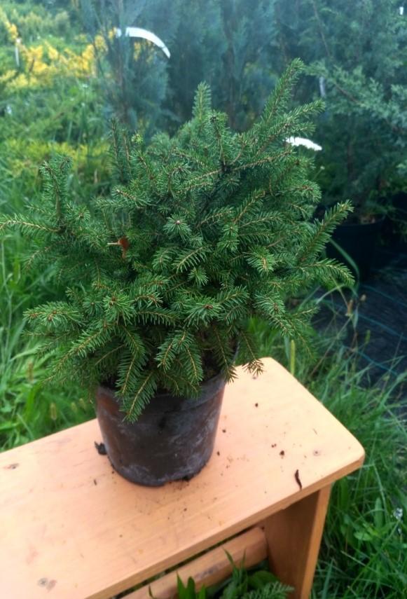 ялина звичайна пуміла нігра Picea Abies Pumila Nigra